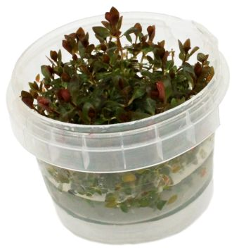 Ludwigia sp. Mini Super Red