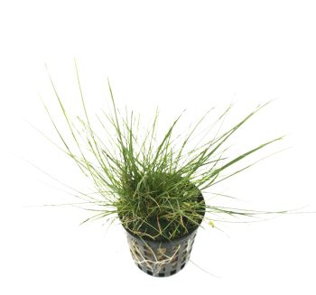 Eleocharis sp